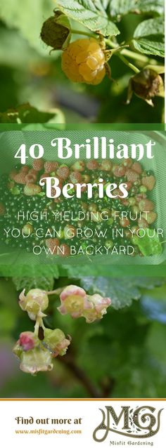 Grow organic fruit in your own backyard with these 40 types of berries. Click to find out more or pin it for later