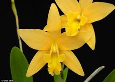 Laelia Canariensis 'Golden Glow', HCC/AOS