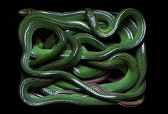 Serpientes Guido Mocafico