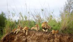 Lions of Kapama Luxury Tents, Game Reserve, Lions, South Africa, Wildlife, Nature, Travel, Animals, Image