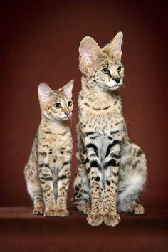 A savannah cat and a serval