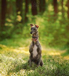 Cola #greyhound Zdjęcie w całości wyszło z pleneru od strzału po edycje  #greyhounds #hart #dog #doggy #las #pies #poznań #sony #samyang #135f2 #affinity #ipad #apple #agnieszkaandpatryk Whippet, Sony, Ipad, Animals, Instagram, Photos, Animales, Pictures, Animaux