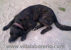 Preservação, Recuperação e Selecção das tradicionais linhagens de cães de trabalho de Castro Laboreiro.