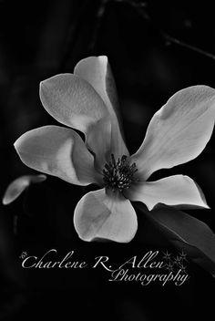 Magnolia tree, Black and White, Flowers, Summer