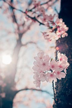 So beautiful! Looks like a Japanese Cherry Blossom Tree Sakura Cherry Blossom, Cherry Blossoms, Blossom Trees, Spring Blossom, Jolie Photo, Cherry Tree, Spring Flowers, Mother Nature, Planting Flowers
