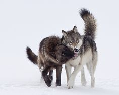 Fish and Wildlife Service is deliberating the proposed removal of nearly all Endangered Species Act protections of the Gray Wolf. Please sign the petition to help save this majestic animal. Beautiful Creatures, Animals Beautiful, Cute Animals, Wild Animals, Baby Animals, Wolf Spirit, Spirit Animal, Husky, Wolf Hybrid