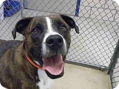 Fort Wayne, IN - Boxer Mix. Meet PAL, a dog for adoption. http://www.adoptapet.com/pet/16264018-fort-wayne-indiana-boxer-mix