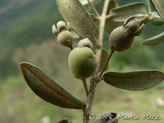 Myrceugenia euosma - Cambuí, Guamirim-de-folha-miúda. Fruto globoso. Flora Digital do Rio Grande do Sul e de Santa Catarina: Myrceugenia euosma
