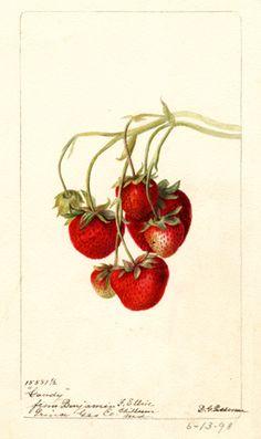 """Gandy"" strawberries.  Watercolor by Deborah Griscom Passmore (1898)"
