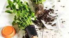 ruukkuun Dream Garden, Garden Plants, How To Dry Basil, Outdoor Spaces, Planters, Herbs, Green, Flowers, Crafts