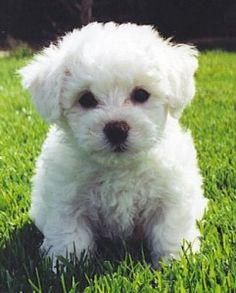 Bichon Frise, the kind of dog I want in the future!