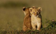 ,delightful cubs