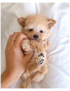 Cute Toy Poodle Puppies #toy #poodle #hairstyles #toypoodlehairstyles Super Cute Puppies, Cute Baby Dogs, Cute Dogs And Puppies, Maltipoo Puppies For Sale, Cute Small Dogs, Cavapoo Puppies, Adorable Puppies, Small Puppies, Puppys