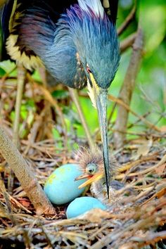 Tricolored heron and chick | nature | | wild life | #nature #wildlife https://biopop.com/