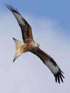 Rode wouw  De rode wouw is de enige roofvogel die je vrijwel alleen in Europa aantreft, van Spanje tot Zweden.