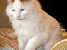 Two different layers of fur! and waterproof. My Lily's fur is like bunny fur! Like cotton. This looks like her but she's a billion times prettier! Pete Holmes, Turkish Van Cats, Cat Character, Domestic Cat, Cat Breeds, Dog Training, Cuddling, Cute Cats, Pup