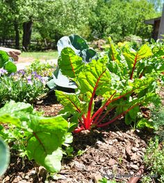 Ruby Red Swiss chard is an easy-to-grow vegetable.