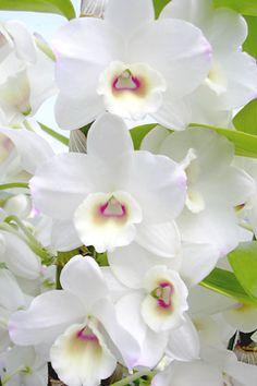 Dendrobium 'Dream'