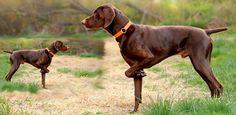 German Shorthaired Pointer Dog Breed Information Pointer Puppies, Pointer Dog, Dog Pond, Hog Dog, Short Haired Pointer, Akc Breeds, German Shorthaired Pointer, Weimaraner, Hunting Dogs
