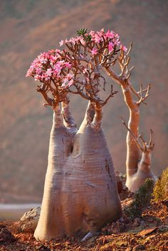Photo about Bottle tree in bloom - adenium obesum - endemic tree of Socotra Island. Image of soqotranum, desert, socotra - 14548891 Unique Trees, Unusual Plants, Rare Plants, Exotic Plants, Exotic Flowers, Beautiful Flowers, Desert Rose Plant, Desert Flowers, Desert Plants
