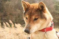 Shikoku Ken Inu 四国犬