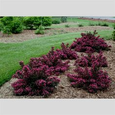 Spilled Wine from Proven Winners has hot pink-magenta flowers with wavy purple leaves. This smaller plant is wider than it is tall and has a broad, spreading habit. It resists deer and is the perfect plant for adding lots of color in mass plantings. 2-3 ft. tall and wide at maturity Full sun (6+ hours) required Hardy in zones 4-8, be sure to check your USDA zone to ensure success Quart shrubs are 5-8 in. tall and 6 months to 1-year old at shipment, varies by season and plant Shrubs shi..
