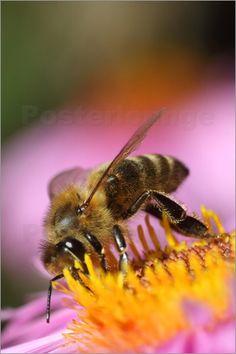 Honigbiene - © Klaus D. Schulze - Bildnr. 633616