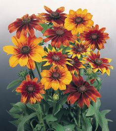 Autumn Colors Gloriosa Daisy , Gloriosa Daisy Autumn Colors, Rudbeckia Autumn…