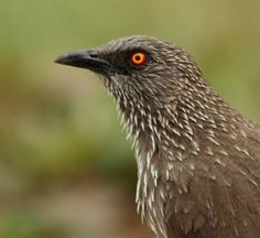 Arrow-marked Babbler (Turdoides jardineii) -  lives in social groups of between 3 to 15 birds (six being the average) that defend large territories, with the size of the territory being dependent upon the number of individuals in the group. They feed on insects, spiders and sometimes snails and lizards, as well as fruits. Foraging occurs near the ground, sometimes in association with other babblers or bulbuls.