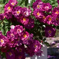 'Stormy Weather' Climbing Rose - Deep smoky purple double blooms make a gorgeous addition to any sunny trellis. Garden Bulbs, Garden Trees, Trees To Plant, Fruit Garden, Garden Plants, House Plants, Rose Bushes For Sale, Violet Garden, Rose Violette
