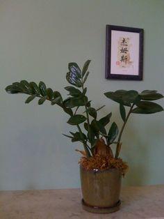 Die zamioculcas eine sehr sch ne und pflegeleichte for Zimmerpflanzen umpflanzen
