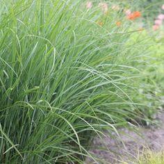 Du sökte efter glansmiskantus - perenner.se Herbs, Herb, Medicinal Plants