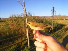 Scientific bird banding workshop at the Ornithological Station at the Padul Wetlands, Lecrín Valley, Granada. Coinciding with an important time for migratory birds, the post-nuptial flight or the return to Africa after spending the summer in Europe. The workshop will be studying the journeys of these birds through scientific banding. An initiation workshop open to everyone on Sunday, 31st. August.  For details go to:- http://on.fb.me/1q0Rizu Photo credit Estación Ornitológica de Padul…