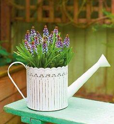 .Muscari watering can.       t