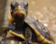 Box Hatchling. (Turtles)