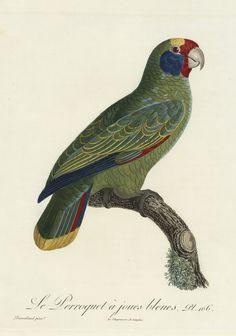 Le Perroquet à joues bleues. Pl. 106. Gravure sur cuivre. Par Bouquet, d'après Barraband. Extrait de l'Histoire naturelle des perroquets, par François Levaillant. Tome second. Paris, 1805. http://www.babordnum.fr/viewer/show/534#page/n133/mode/1up