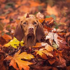 When you catch sight of a squirrel in the middle of playing in the leaves #focused #autumnleaves #vancouverisawesome