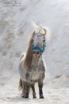 Falabella Equine,  so cute, such short little legs!!!