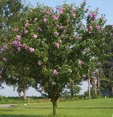 "Rose of Sharon ""tree"" - note the singular trunk"