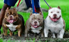 5 MISCONCEPTIONS ON HEALH, LIFE SPAN, TEMPERAMENT AND ATHLETICISM IN THE AMERICAN BULLY American Bully Kennels, American Bullies, Dog Sleeping In Bed, Pocket Bully, Bulldog Breeds, V Lines, Pitbull Terrier, Bull Terriers, Boston Terrier