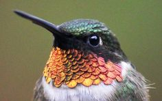 """The patch of iridescent red feathers on a Ruby-Throated Hummingbird is called a """"gorget"""". The term comes from the name of a piece of armor once worn to protect the throat during battle. Only mature male Ruby-Throats have these feathers."""