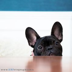 French Bulldog Frenchie West Elm Herman Miller