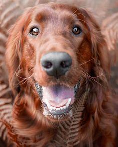 Golden Retriever Dog Photography