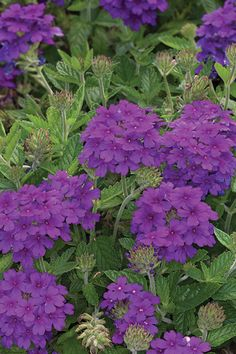 Verbena: hanging baskets. Good for sunny & humid areas. remember to water, fertilize and trim for long lasting color in the summer