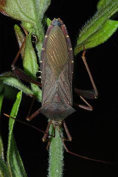 Coreid bug (Hemiptera) ˚