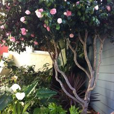Image result for camellia tree