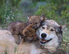 A MOMMY WOLF AND HER CUBS!!!!!! SOOO CUTE!!!!!!