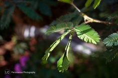 Sensitive fern that closes up when you touch it. at Butterfly World, Fort Lauderdale, FL. by Linsey Curro and Persistence Photography 2014.