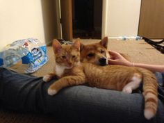 My baby meko has feline leukemia. He got it from his momma Feline Leukemia, Kitty, Cats, Animals, Little Kitty, Gatos, Animales, Animaux, Kitty Cats