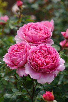 nice Princess Alexandra of Kent - David Austin English Rose – David Austin Roses Editorial Image Gallery